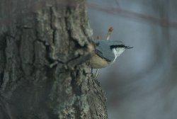 鳥の忍者・ゴジュウカラ