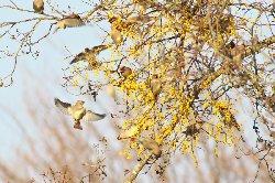 穂咲きヤドリギに群がるレンジャク