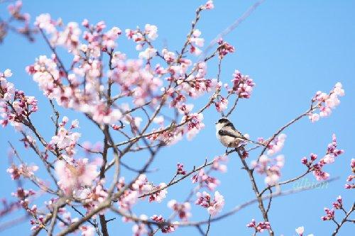 桜にエナガ
