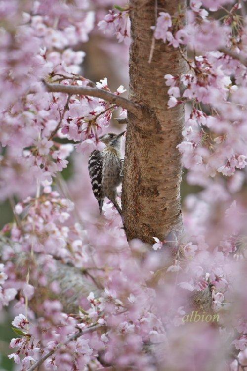 桜にコゲラ