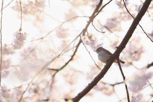 桜とコサメビタキ