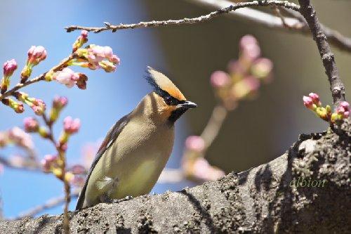 桜にヒレンジャク