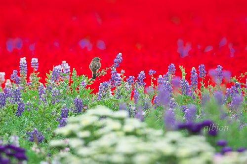 花畑でのんびりするノビタキ
