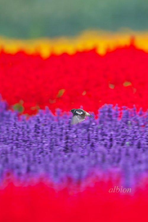 花畑を飛ぶノビタキ