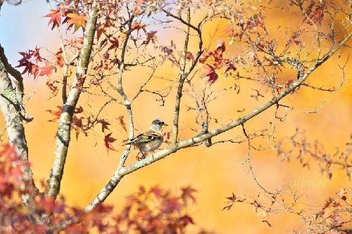 秋一番のアトリ