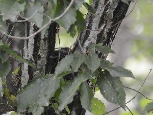 クロツグミ営巣