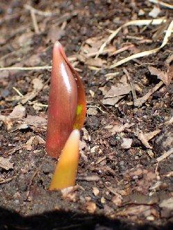 カタクリの芽