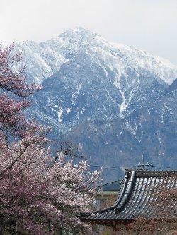 甲斐駒ヶ岳と神代桜