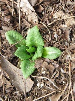 クリンソウの芽