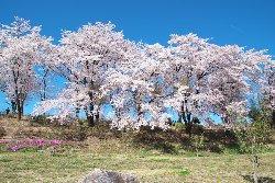 台ヶ原ほたる親水公園の桜