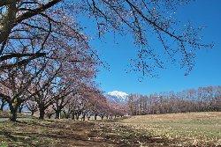 北杜市 蕪の桜