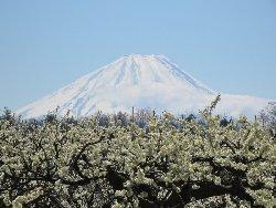 満開のスモモと富士山