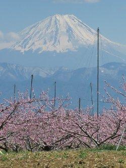 新府の桃畑からの富士山