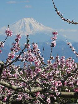 新府の桃と富士山