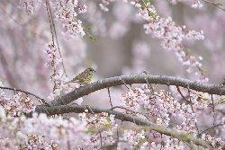 桜にアオジ