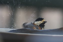 水浴び ヤマガラ