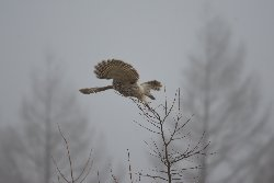 狩りしているフクロウ