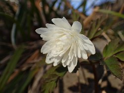 八重咲キクザキイチゲ