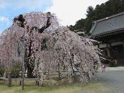 樹齢400年以上のしだれ桜