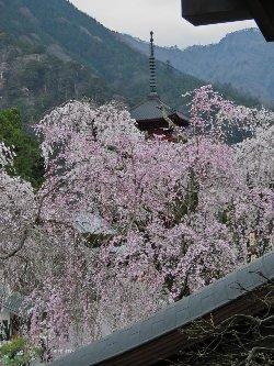 祖師堂からは、桜に埋め尽くされたように五重塔が見えました。