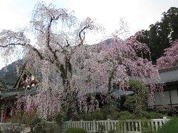 報恩閣と枝垂れ桜。濃淡が綺麗でした。