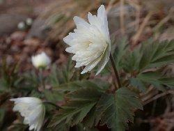 八重咲き菊咲きイチゲ
