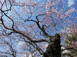 樹齢250年と推定されるエドヒガンザクラ