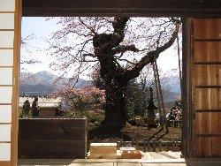 観音堂からの枝垂れ桜と南アルプスの峰