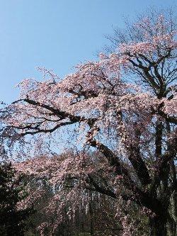高森墓地の桜