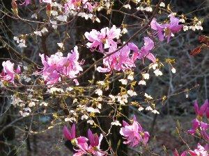 マメ桜とミツバツツジ