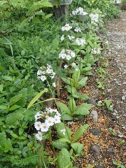 白いクリンソウ花壇