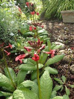 赤いクリンソウ花壇