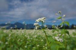 南アルプスを背景にそばの花