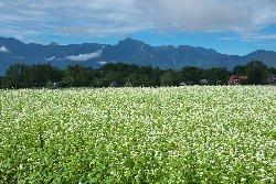 南アルプスを背景にそば畑