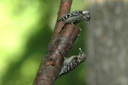 コゲラの親が雛に餌を与えるところです