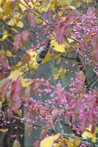 秋、ピンクの実(マユミ)の中のコゲラ